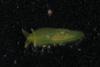 http://mczbase.mcz.harvard.edu/specimen_images/malacology/large/389017_Phyllaplysia_taylori.jpg