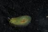 http://mczbase.mcz.harvard.edu/specimen_images/malacology/large/389024_Phyllaplysia_taylori_2.jpg