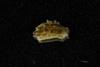 http://mczbase.mcz.harvard.edu/specimen_images/malacology/large/389029_Alderia_modesta_01.jpg