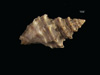 http://mczbase.mcz.harvard.edu/specimen_images/malacology/large/7305_Murex_cernicolor_2.jpg
