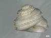 http://mczbase.mcz.harvard.edu/specimen_images/malacology/large/7615_Liotia_variabilis_2.jpg