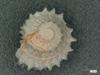 http://mczbase.mcz.harvard.edu/specimen_images/malacology/large/7616_Liotia_variabilis_1.jpg