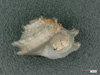 http://mczbase.mcz.harvard.edu/specimen_images/malacology/large/7616_Liotia_variabilis_2.jpg