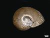 http://mczbase.mcz.harvard.edu/specimen_images/malacology/large/83842_Parapholyx_eddusa_1.jpg