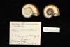 http://mczbase.mcz.harvard.edu/specimen_images/malacology/large/88477_Marisa_cornuarietis_3.jpg