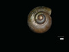 http://mczbase.mcz.harvard.edu/specimen_images/malacology/large/89552_Paludornus_stomatodon_6.jpg
