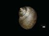 http://mczbase.mcz.harvard.edu/specimen_images/malacology/large/89552_Paludornus_stomatodon_8.jpg