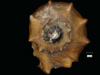 http://mczbase.mcz.harvard.edu/specimen_images/malacology/large/89555_Melania_stephanus_4.jpg