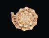 http://mczbase.mcz.harvard.edu/specimen_images/malacology/large/MCZ254726_V_ebraea_12of46.jpg