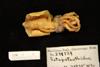 http://mczbase.mcz.harvard.edu/specimen_images/malacology/large/MCZ_278524_Octopoteuthidae_1.jpg