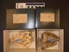 http://mczbase.mcz.harvard.edu/specimen_images/mammalogy/large/1031_Euphractus_sexcinctus_hv.jpg