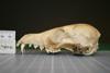 http://mczbase.mcz.harvard.edu/specimen_images/mammalogy/large/10721_vulpes_macrotis_neo-mexicanus_hl.jpg