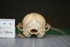 http://mczbase.mcz.harvard.edu/specimen_images/mammalogy/large/10721_vulpes_macrotis_neo-mexicanus_hp.jpg