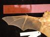 http://mczbase.mcz.harvard.edu/specimen_images/mammalogy/large/10751_Lasiurus_borealis_borealis_d.jpg