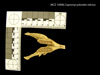 http://mczbase.mcz.harvard.edu/specimen_images/mammalogy/large/10996_Capromys_pilorides_relictus_md.jpg