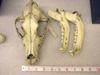 http://mczbase.mcz.harvard.edu/specimen_images/mammalogy/large/11178_Canis_familiaris_hd.jpg