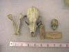 http://mczbase.mcz.harvard.edu/specimen_images/mammalogy/large/11209_Canis_familiaris_hf.jpg