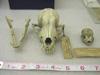http://mczbase.mcz.harvard.edu/specimen_images/mammalogy/large/11210_Canis_familiaris_hf.jpg