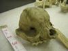 http://mczbase.mcz.harvard.edu/specimen_images/mammalogy/large/11212_Canis_familiaris_hf.jpg