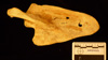 http://mczbase.mcz.harvard.edu/specimen_images/mammalogy/large/15312_Pan_troglodytes_troglodytes_scap-pos.jpg