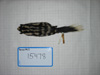 http://mczbase.mcz.harvard.edu/specimen_images/mammalogy/large/15478_Spilogale_putoris_leucoparia_d.jpg