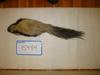 http://mczbase.mcz.harvard.edu/specimen_images/mammalogy/large/15484_Mephitis_mephitis_varians_d.jpg