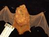 http://mczbase.mcz.harvard.edu/specimen_images/mammalogy/large/1580_Lasiurus_borealis_borealis_d.jpg