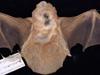 http://mczbase.mcz.harvard.edu/specimen_images/mammalogy/large/1582_Lasiurus_borealis_borealis_d.jpg