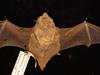 http://mczbase.mcz.harvard.edu/specimen_images/mammalogy/large/1583_Lasiurus_borealis_borealis_d2.jpg