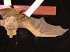 http://mczbase.mcz.harvard.edu/specimen_images/mammalogy/large/1586_Lasiurus_cinereus_d.jpg