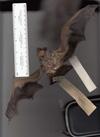 http://mczbase.mcz.harvard.edu/specimen_images/mammalogy/large/1586_Lasiurus_cinereus_v.jpg
