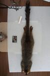 http://mczbase.mcz.harvard.edu/specimen_images/mammalogy/large/16353_Lemur_fulvus_rufus_d.jpg
