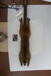 http://mczbase.mcz.harvard.edu/specimen_images/mammalogy/large/16356_Lemur_fulvus_rufus_d.jpg