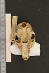 http://mczbase.mcz.harvard.edu/specimen_images/mammalogy/large/16356_Lemur_fulvus_rufus_hv.jpg