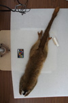 http://mczbase.mcz.harvard.edu/specimen_images/mammalogy/large/16368_Lemur_fulvus_rufus_d.jpg