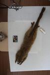 http://mczbase.mcz.harvard.edu/specimen_images/mammalogy/large/16370_Lemur_fulvus_rufus_d.jpg