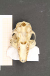 http://mczbase.mcz.harvard.edu/specimen_images/mammalogy/large/16370_Lemur_fulvus_rufus_hv.jpg