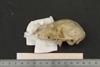 http://mczbase.mcz.harvard.edu/specimen_images/mammalogy/large/16392_Lemur_catta_hl.jpg