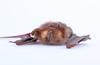 http://mczbase.mcz.harvard.edu/specimen_images/mammalogy/large/16468_Pteronotus_parnellii_pusillus_f.jpg