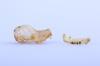 http://mczbase.mcz.harvard.edu/specimen_images/mammalogy/large/16468_Pteronotus_parnellii_pusillus_hl2.jpg