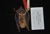 http://mczbase.mcz.harvard.edu/specimen_images/mammalogy/large/16468_Pteronotus_parnellii_pusillus_v.jpg