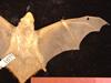 http://mczbase.mcz.harvard.edu/specimen_images/mammalogy/large/1677_Lasiurus_borealis_borealis_d.jpg