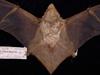 http://mczbase.mcz.harvard.edu/specimen_images/mammalogy/large/1678_Lasiurus_borealis_borealis_d.jpg
