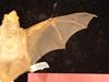 http://mczbase.mcz.harvard.edu/specimen_images/mammalogy/large/1680_Lasiurus_borealis_borealis_d.jpg