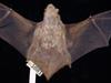 http://mczbase.mcz.harvard.edu/specimen_images/mammalogy/large/1681_Lasiurus_borealis_borealis_d2.jpg