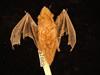 http://mczbase.mcz.harvard.edu/specimen_images/mammalogy/large/1682_Lasiurus_borealis_borealis_d.jpg