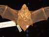 http://mczbase.mcz.harvard.edu/specimen_images/mammalogy/large/1688_Lasiurus_borealis_borealis_d2.jpg