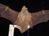 http://mczbase.mcz.harvard.edu/specimen_images/mammalogy/large/1689_Lasiurus_borealis_borealis_d2.jpg