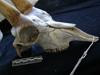 http://mczbase.mcz.harvard.edu/specimen_images/mammalogy/large/17392_Capra_pyrenaica_hispanica_hl.jpg