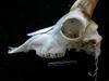 http://mczbase.mcz.harvard.edu/specimen_images/mammalogy/large/17392_Capra_pyrenaica_hispanica_hl2.jpg